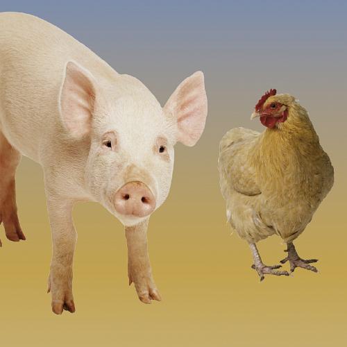 Bild zum Weblog Huhn oder Schwein?