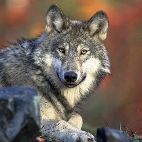 Bild zum Weblog Die beiden Wölfe